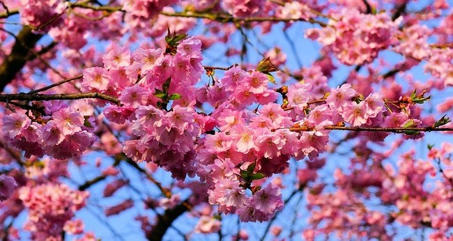 The Cherry Blossom Season in Japan - The Best Time for a Visit?