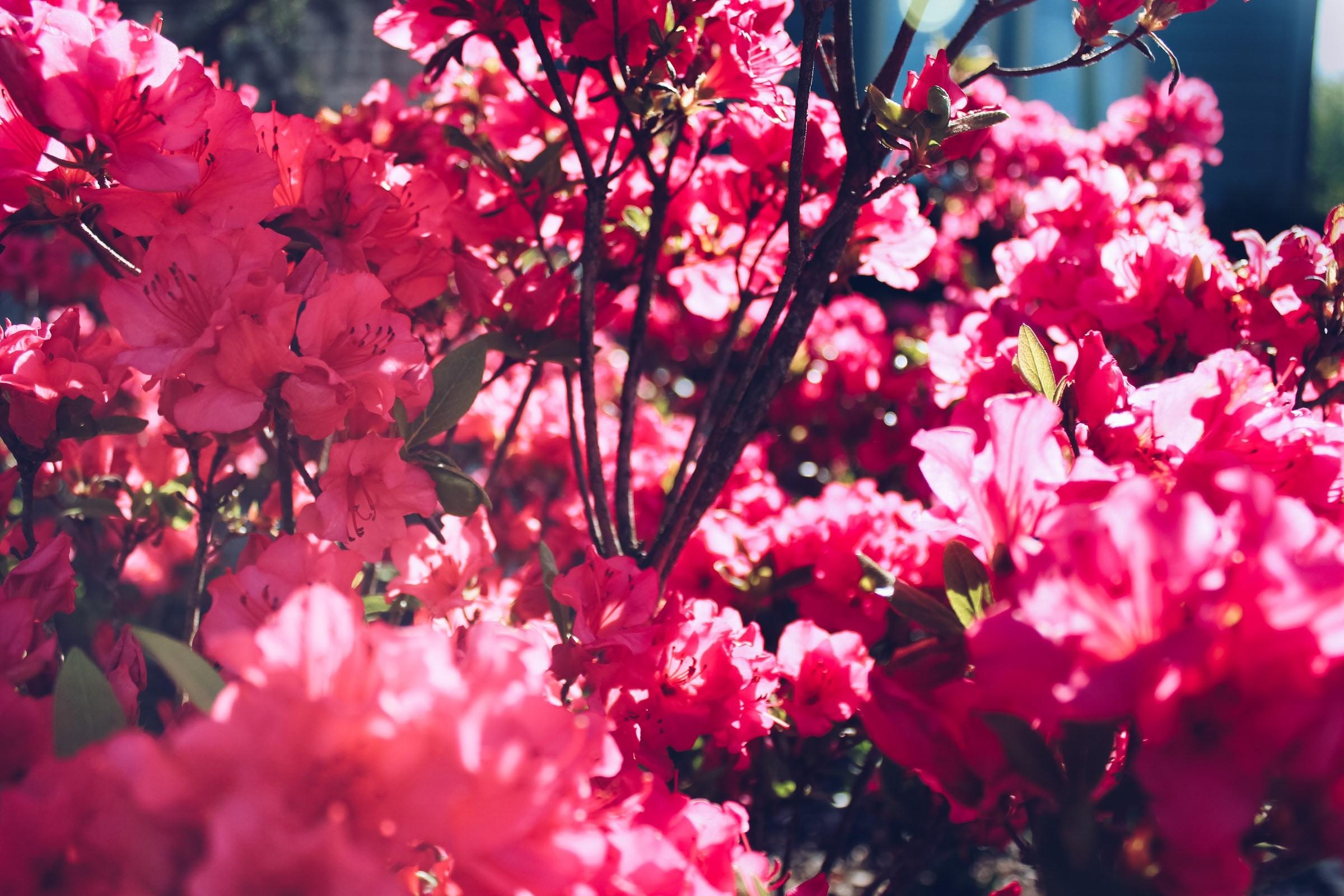 Azalea Flower Taipei Taiwan