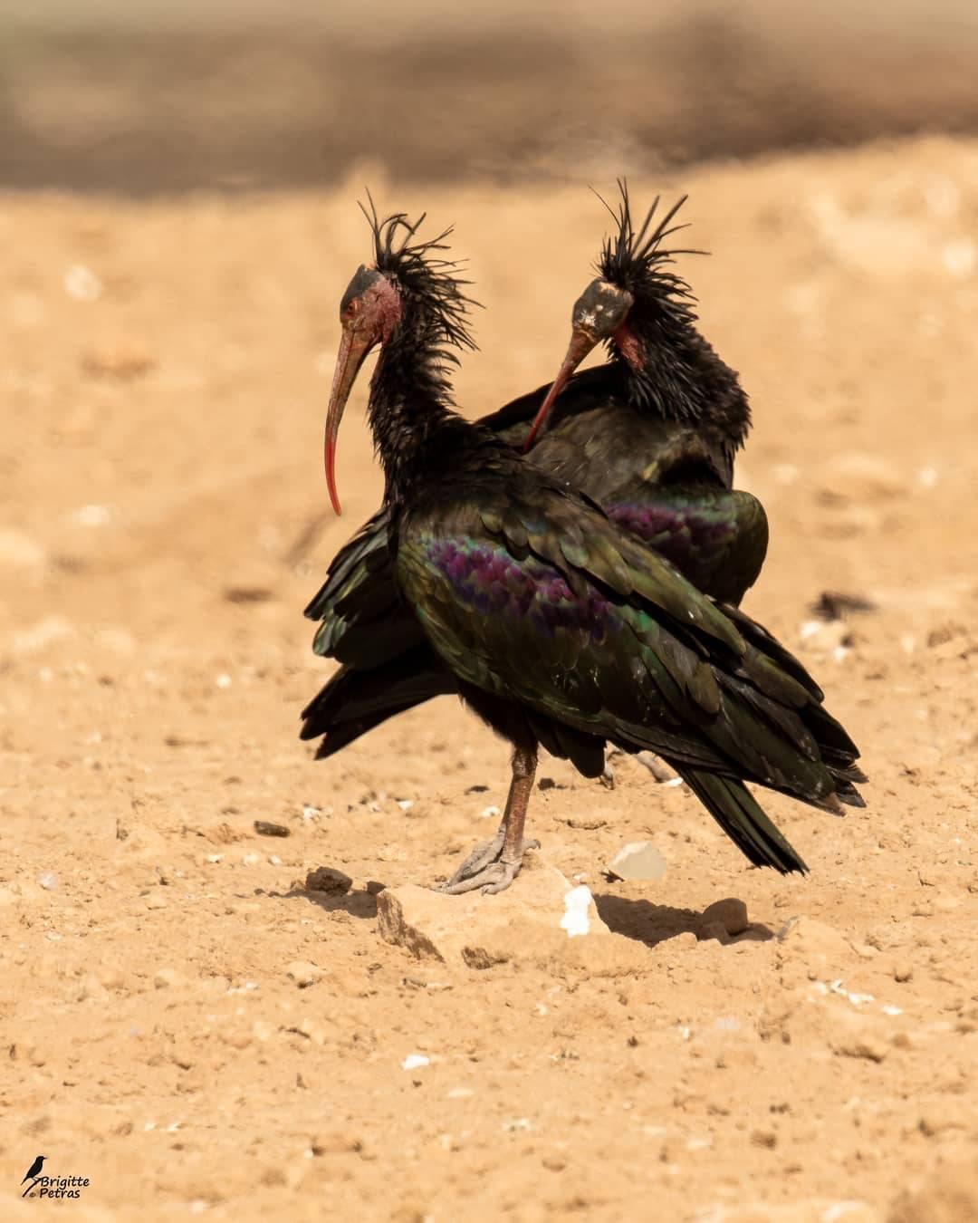 Northern Bald Ibis, Souss-Massa National Park, Agadir, Morocco