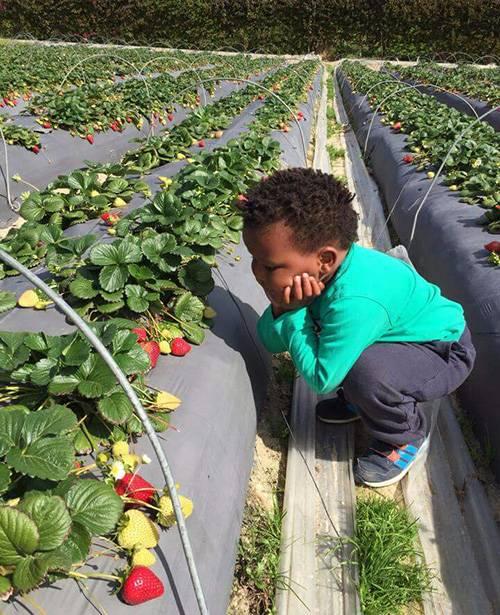 Strawberry Picking, Polkadraai Strawberry Farm in Stellebosch, Cape Town, South Africa