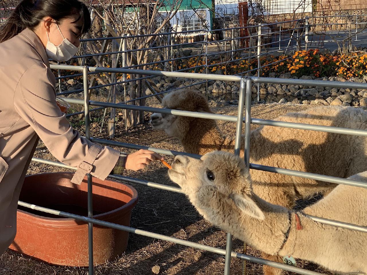 Alpaca feeding Saebyeol Heyyo Farm Jeju South Korea