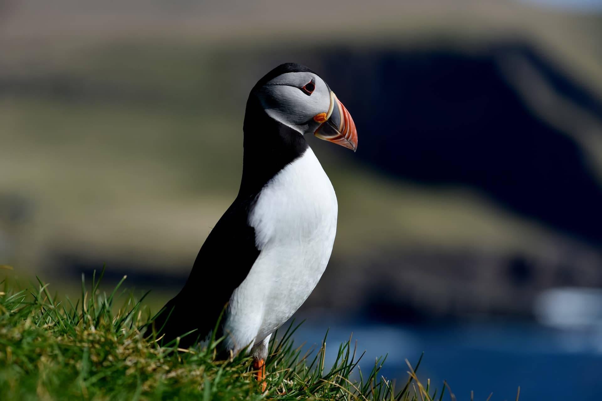 Vestmanna Cliffs Bird Puffins Faroe Islands